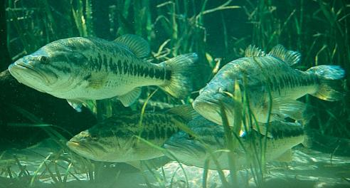 largemouth bass eating - photo #10