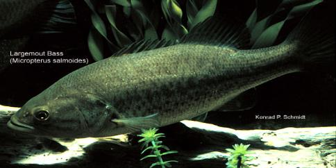 Largemouth Bass Reproduction and Spawn